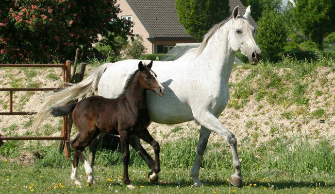 Paarden fokkerij